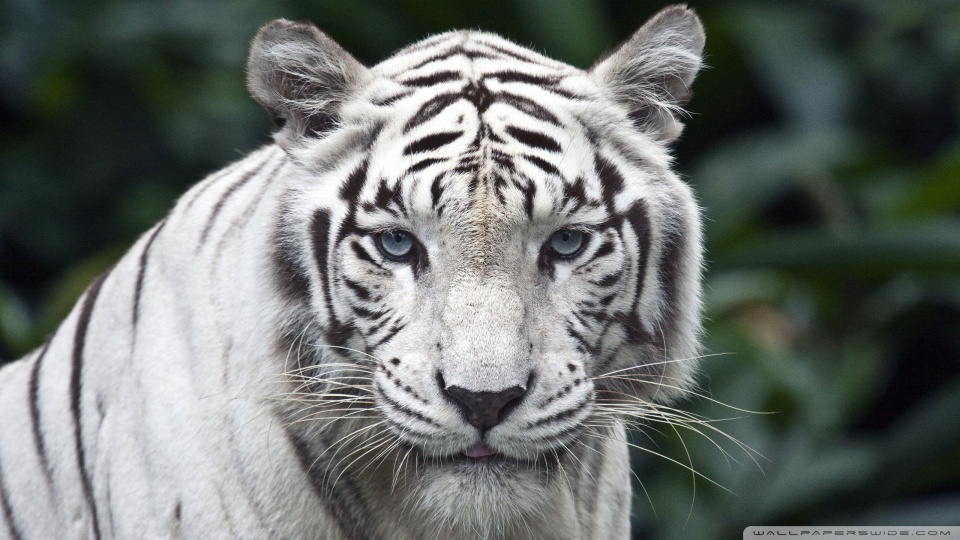 white_tiger-wallpaper-960x540
